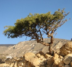 Mirhapuu (LuonnonkosmettiikkaWithDeli)
